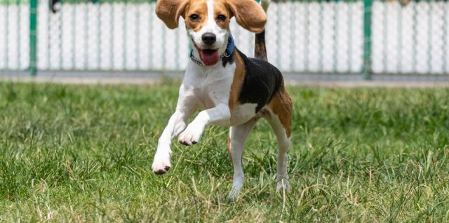 beagle saute dans l'herbe